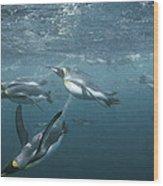 King Penguins Swimming Macquarie Isl Wood Print