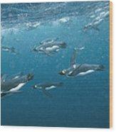 King Penguins Swimming Underwater Wood Print