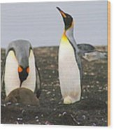 King Penguins With Chick And Egg Wood Print