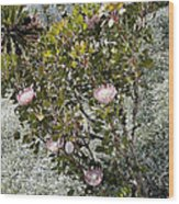 King Protea Bush 1 Wood Print