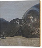 Kissing Seals Wood Print
