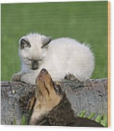 Kitten And Puppy Playing Wood Print