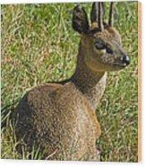 Klipspringer Antelope Wood Print