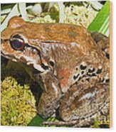 Knudsen Thin Toed Frog Wood Print