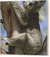 Koala Wood Print by Bob Christopher