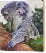 Koala Eating In A Tree Wood Print