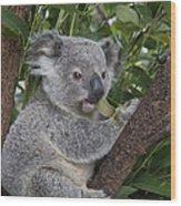 Koala Joey Australia Wood Print