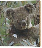 Koala Male In Eucalyptus Australia Wood Print