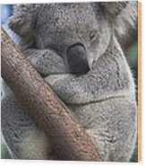 Koala Male Sleeping Australia Wood Print
