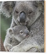 Koala Mother Holding Joey Australia Wood Print