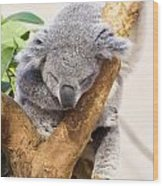 Koala Sleeping  Wood Print