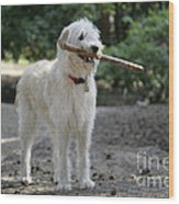 Labradoodle Holding Stick Wood Print