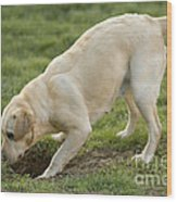 Labrador Checking Hole Wood Print