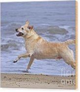 Labrador Cross Dog Running Wood Print by Geoff du Feu