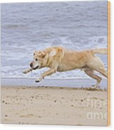 Labrador Dog Chasing Ball On Beach Wood Print