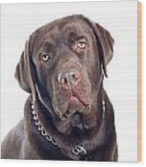 Labrador Dog Portrait  Wood Print