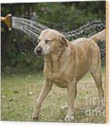 Labrador Playing In Water Wood Print