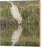 Labrador Puppy Drinking Wood Print