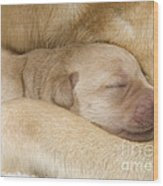 Labrador Puppy On Mother Wood Print