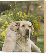 Labrador Puppy Playing With Parent Wood Print