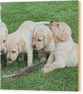 Labrador Retriever Puppies And Feather Wood Print