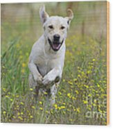 Labrador Running Wood Print