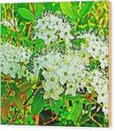 Labrador Tea In Sawtooth National Recreation Area-idaho  Wood Print