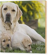 Labrador With Two Puppies Wood Print