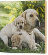 Labrador With Young Puppies Wood Print