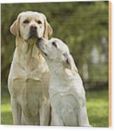 Labradors, Adult And Young Wood Print