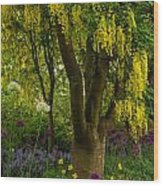 Laburnum Tree In Bloom Wood Print