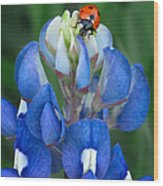 Lady Bug And Bluebonnet Wood Print
