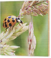 Lady Bug On A Warm Summer Day Wood Print by Andrew Pacheco