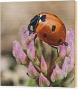 Lady Bug On Clover Wood Print