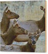 Lady Elk Wood Print