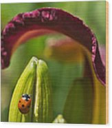 Ladybird Beetle Cuddled By Lily Blossom 4 Wood Print
