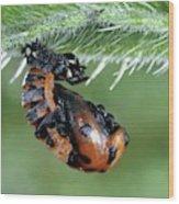 Ladybird Pupa Wood Print