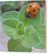 Ladybug And Oregano Wood Print