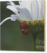 Ladybugs On Shasta Daisy Wood Print