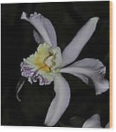 Laeliocattleya Jacki Stidham Wood Print