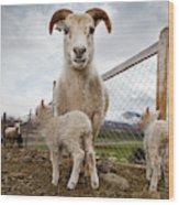 Lamb On A Farm, Iceland Wood Print