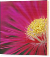 Lampranthus Abstract Wood Print
