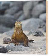 Land Iguana On The Beach Wood Print