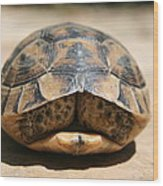 Land Turtle Hiding In Its Shell  Wood Print