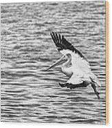 Landing Pelican In Black And White Wood Print