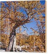 Larch Tree Frames Prusik Peak Wood Print