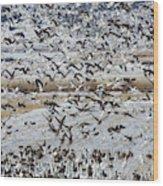 Large Flocks Of Migratory Birds Stop Wood Print