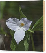 Large-flower Trillium Dspf279 Wood Print