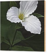 Large Flowered Trillium Wood Print