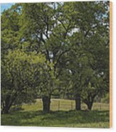 Large Green Oak Trees Wood Print